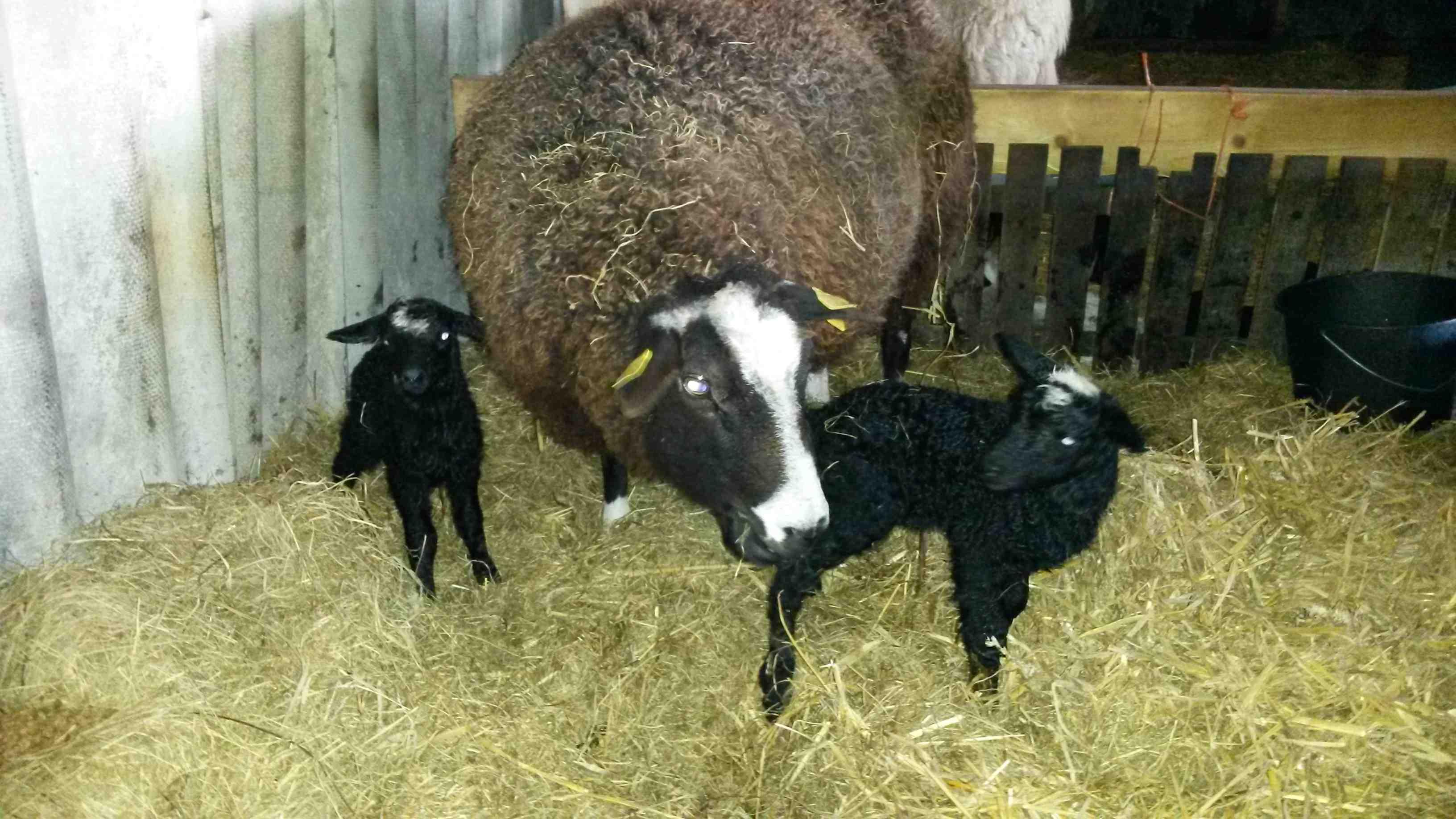 20170311 091625 Zwartbles Geboorte